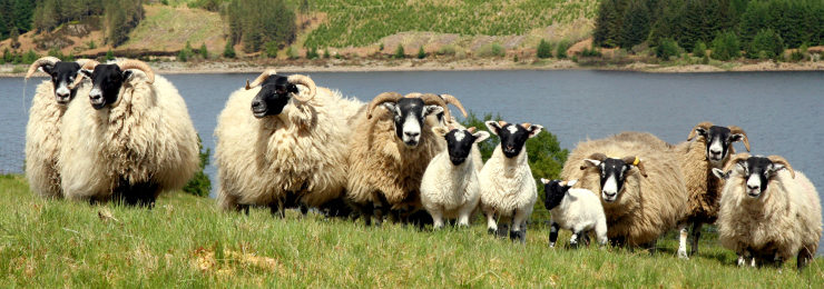 Scottish Blackface Sheep