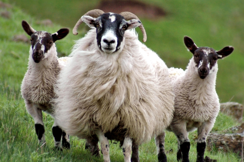 The Blackface Sheep Breeders' Association